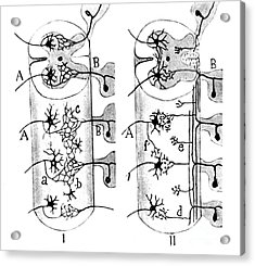 Neuroglia Cells Illustrated By Cajal Acrylic Print by Science Source