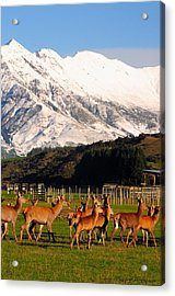 New Zealand Deer 3497 Acrylic Print by PhotohogDesigns