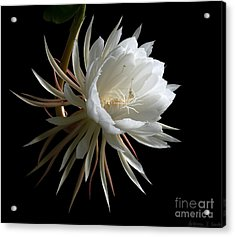 Night-blooming Cereus 1 Acrylic Print by Warren Sarle