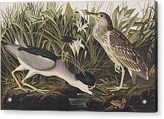 Night Heron Or Qua Bird Acrylic Print by John James Audubon