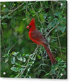 Northern Cardinal Acrylic Print by Bill Morgenstern