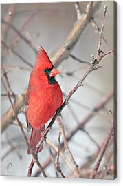 Northern Cardinal In The Apple Tree Acrylic Print by Laurie With