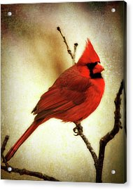 Northern Cardinal Acrylic Print by Lana Trussell