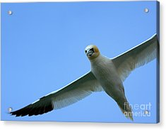 Northern Gannet Flying Through Blue Skies Acrylic Print by Sami Sarkis
