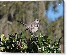 Northern Mockingbird Acrylic Print by Carol Groenen