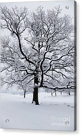 Oak Acrylic Print by Gabriela Insuratelu