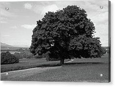 Oak Tree - Killarney National Park Acrylic Print by Aidan Moran