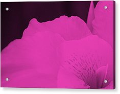 Oh Canna You See In Pink Acrylic Print by Diane Fiore