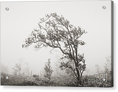 Ohia Lehua Tree Acrylic Print by Greg Vaughn - Printscapes