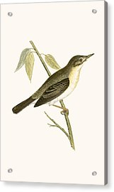 Olivaceous Warbler Acrylic Print by English School