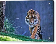 On The Hunt Acrylic Print by Tom Dowd