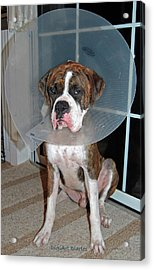 One Biffed Boxer Acrylic Print by DigiArt Diaries by Vicky B Fuller