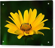One Daisy Acrylic Print by Juergen Roth