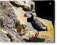 One Puffin In Iceland Acrylic Print by Matthias Hauser