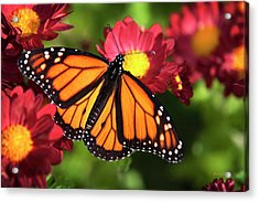 Orange Drift Monarch Butterfly Acrylic Print by Christina Rollo