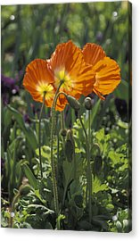 Orange Poppy Flower In The Dallas Acrylic Print by Richard Nowitz