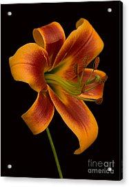 Orange Wonder Acrylic Print by Robert Pilkington