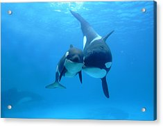 Orca Orcinus Orca Mother And Newborn Acrylic Print by Hiroya Minakuchi