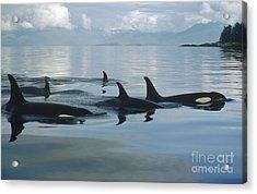 Orca Pod Johnstone Strait Canada Acrylic Print by Flip Nicklin