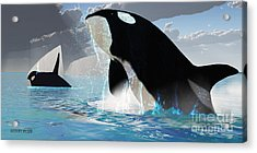 Orca Whales Acrylic Print by Corey Ford