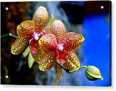 Orchid 17 Acrylic Print by Marty Koch