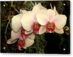 Orchid 19 Acrylic Print by Marty Koch