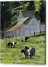 Oreo Cows In Napa Acrylic Print by Gail Chandler
