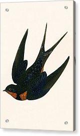 Oriental Chimney Swallow Acrylic Print by English School