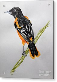 Oriole Acrylic Print by Jamie Silker