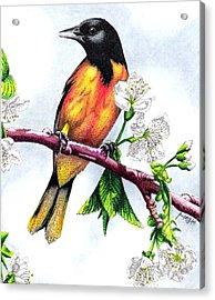 Oriole Acrylic Print by Scarlett Royal