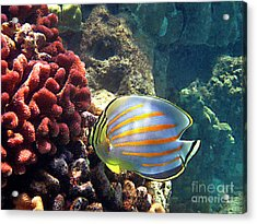 Ornate Butterflyfish On The Reef Acrylic Print by Bette Phelan