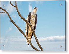 Osprey Acrylic Print by Donnie Smith