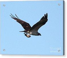 Osprey With Fish Acrylic Print by Carol Groenen