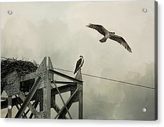 Ospreys At Pickwick Acrylic Print by Jai Johnson
