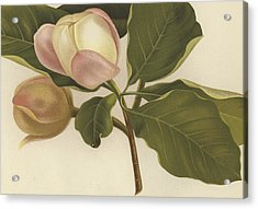 Oyama Magnolia Acrylic Print by English School