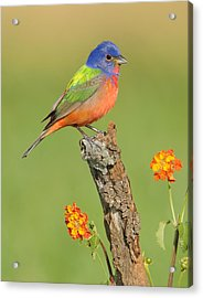 Painted Bunting Acrylic Print by Scott  Linstead
