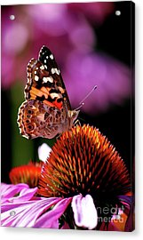 Painted Lady Acrylic Print by Lila Fisher-Wenzel