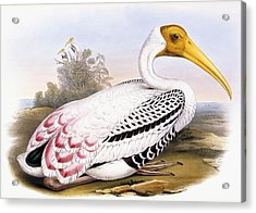 Painted Stork Acrylic Print by John Gould