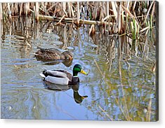 Pair Of Mallard Ducks Acrylic Print by Rod Johnson