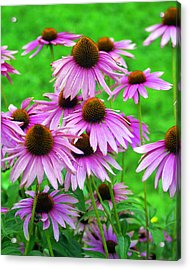 Pale Purple Coneflowers Acrylic Print by Marty Koch