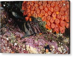 Panamic Fanged Blenny On Coral Reef Acrylic Print by James Forte