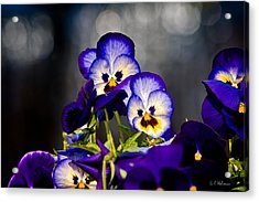 Pansies Acrylic Print by Christopher Holmes