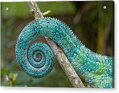 Panther Chameleon Tail Acrylic Print by Philippe Psaila and Photo Researchers