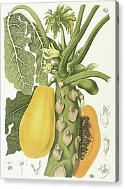 Papaya Acrylic Print by Berthe Hoola van Nooten