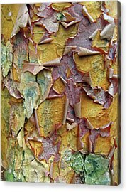 Paperbark Maple Tree Acrylic Print by Jessica Jenney