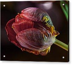 Parrot Tulip 4 Acrylic Print by Robert Ullmann