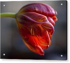 Parrot Tulips 16 Acrylic Print by Robert Ullmann