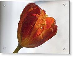 Parrot Tulips 19 Acrylic Print by Robert Ullmann