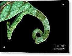 Parson Chameleon, Calumma Parsoni On Black Background, Top View Acrylic Print by Sergey Taran