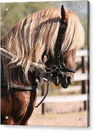 Paso Fino Stallion Acrylic Print by Wendi Matson